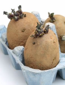 "'Chitting' is a process whereby seed potatoes are allowed to sprout prior to being planted to encourage faster growth and heavier crops.  Also, how to grow ""second potatoes"""