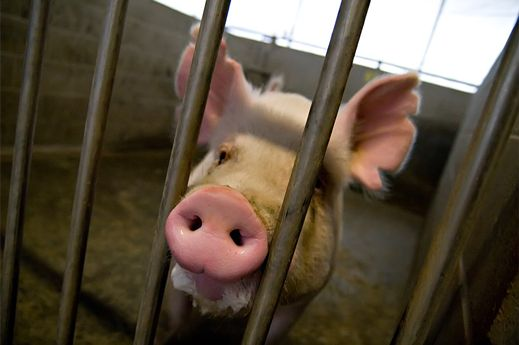 """Human-Animal Chimeras Are Gestating on U.S. Research Farms:   What if the embryo that develops is mostly human? It's something that we don't expect, but no one has done this experiment, so we can't rule it out."""""""