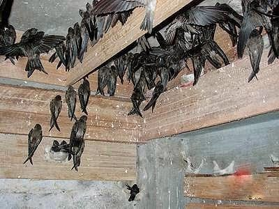 Dunia Cara Ternak Hewan - Peluang Usaha Sampingan: Foto dan gambar gambar burung walet