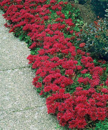 red creeping sedum plant set of two by michigan