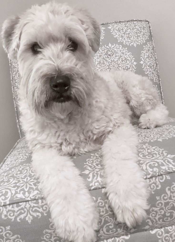 Birdie our Soft Coated Wheaten Terrier