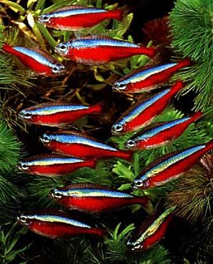 Cardinal Tetra ..Growing to about 3 cm (1.25 in) total length, Cardinal