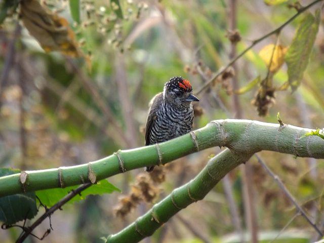 Foto pica-pau-anão-barrado (Picumnus cirratus) por Henrique Junior | Wiki Aves - A Enciclopédia das Aves do Brasil