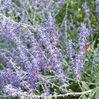 Perovskia Atriplicifolia, Russian Sage, Full sun perennial, Best performing perennial, Perovskia Blue Spire,  Perovskia Little Spire, Russian Sage Blue Spire, Russian Sage Little Spire
