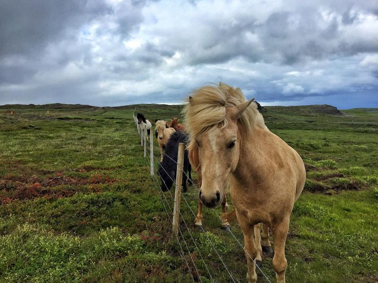 Stunning and very friendly Icelandic horses | heneedsfood.com