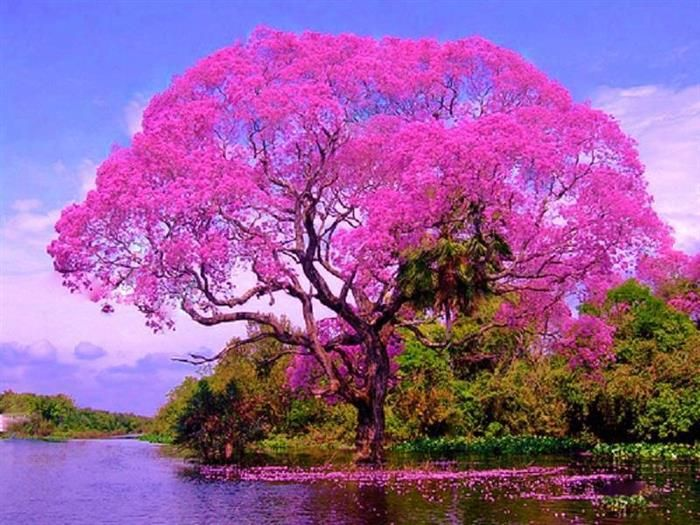 Ipê Quando chega a primavera, nossa linda e imponente árvore-símbolo vem, com toda a força, mostrar sua beleza onde quer que esteja plantada. Na paisagem urbana ou rural, as cores do ipê nos deixam encantados e nos lembram da força da natureza, da vida, e do eterno recomeço.
