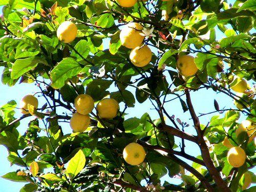 A citromfa ültetése lépésről lépésre videóval!