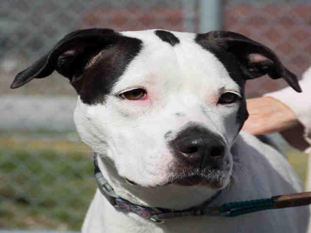 American Staffordshire Terrier dog for Adoption in Waynesville, NC. ADN-470482 on PuppyFinder.com Gender: Female. Age: Adult