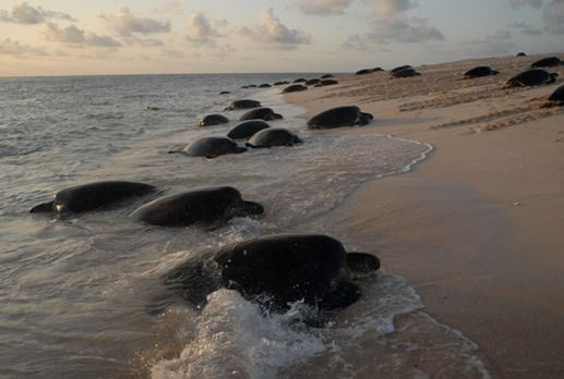 There are some turtle nesting hotspots along the Queensland coast where our four-flippered friends seem to congregate to lay their eggs