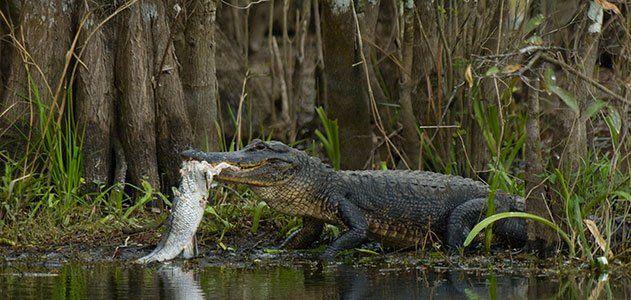 Alligator hunting