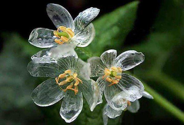 """""""水に触れると白い花びらが透明になる美しい花の紹介。http://t.co/TNXAG87A33 名前はサンカヨウで、日本北部の山間部や米国アパラチア山脈などのやや湿った場所に分布。雨や朝露で透明になる。via @boredpanda"""""""
