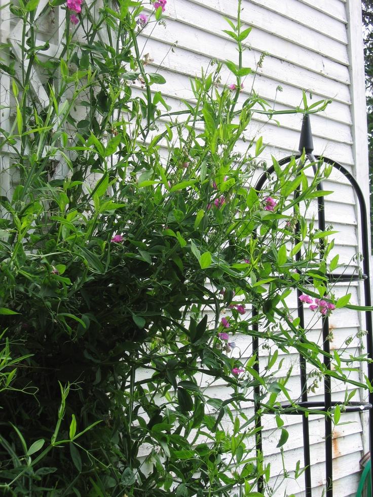 Lathyrus latifolius Perennial