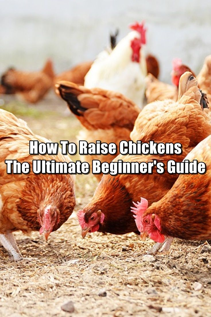 How To Raise Chickens – The Ultimate Beginner's Guide -  One of the biggest challenges to living off the grid is having a sustainable source of food. Gardening is one way to do this, but it's not the only way. I'm a big fan of raising chickens. The reason? Because chickens can provide you with a DAILY source of food in the form of eggs.