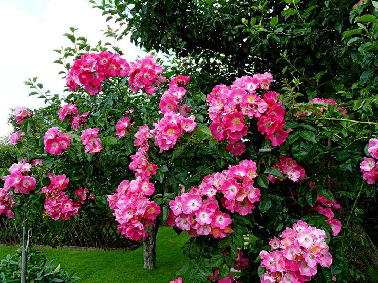 Popínavé růže...
