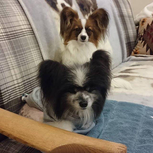 #パピヨン #愛犬 #ペット #papillon #dog #dogstagram #pet #大晦日 #今年もあと少し #まさかの今年だった#平穏な日々はいつくるのか #早く大人になって #お兄ちゃんって #妹って 2017.12.31 Sun 悲しいことも楽しいこともありました。 なんと言ってももう迎えることはないと思っていた子パピ。ノアが少しでも寂しくないようにと思ったけれど、予想以上に激しい毎日になりました。  可愛いんだけれどね。早く大人になって欲しい・・・ママとノアの願い✨✨✨ 喪中につき新年のご挨拶はご遠慮させていただきます。  ノアとアンジュ、タヌキとキツネのどん兵衛コンビ♥️来年もどうぞよろしくお願いいたしますm(_ _)m