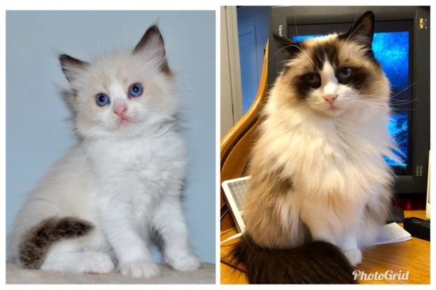 What Are The Different Colors Of Ragdoll Cats Https Www Floppycats Com What Are The Different Colors Of Ragdol Ragdoll Cat Colors Ragdoll Cat Ragdoll Kitten