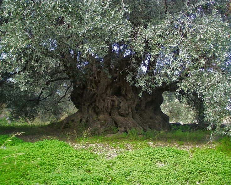 An ancient olive tree in Ierapetra Greece in Crete region. Ierapetra is the southest part of Crete. #greece #crete #trip #olivetree #oliveoil #olivegrove