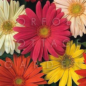 Gerbera Jamesonii hybrids - Transvaal daisy - Norfolk Cottage Garden