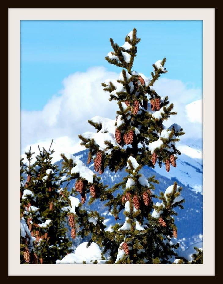 #Sapin / #Pralognan la #Vanoise. Merci à Babette