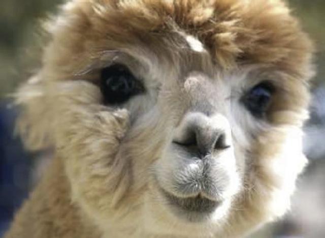 Alpaca Face Baby alpaca fac...