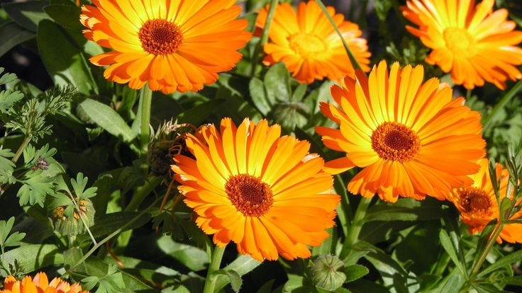 Per la lotta biologica nell'orto di marzo si può fare con l'ausilio di sei fiori: la calendula, il nasturzio, zinnie e tagete.
