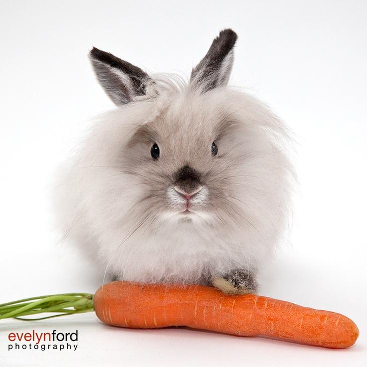 Einstein, the lionhead bunny.