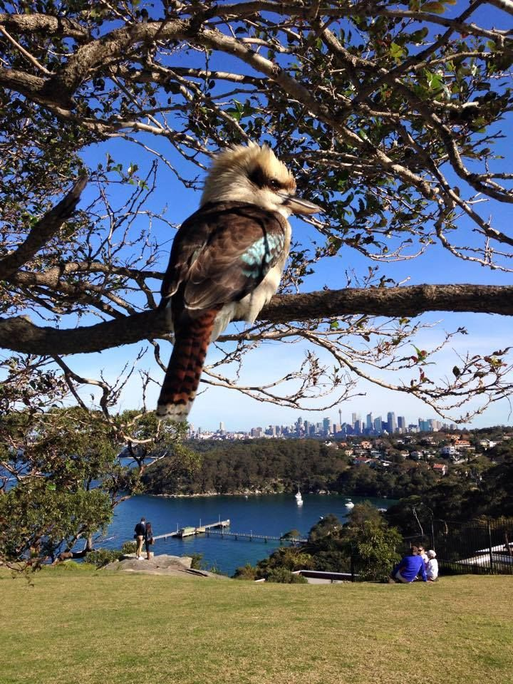 Kookaburra sits in an old gum tree at Georges Head Lookout, Sydney, Australia.    v@e.