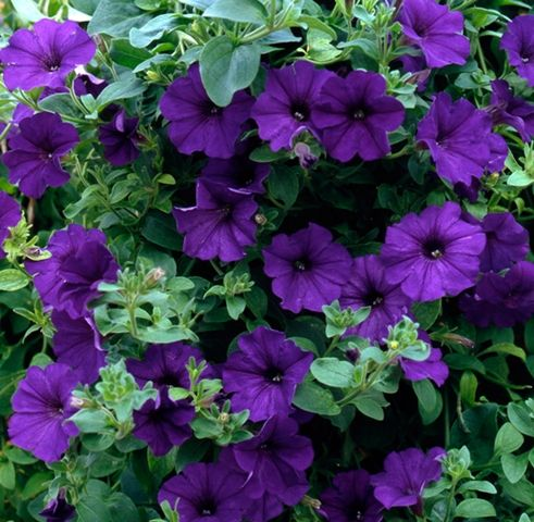 17 best images about petunias 2016 on pinterest for Petunia surfinia