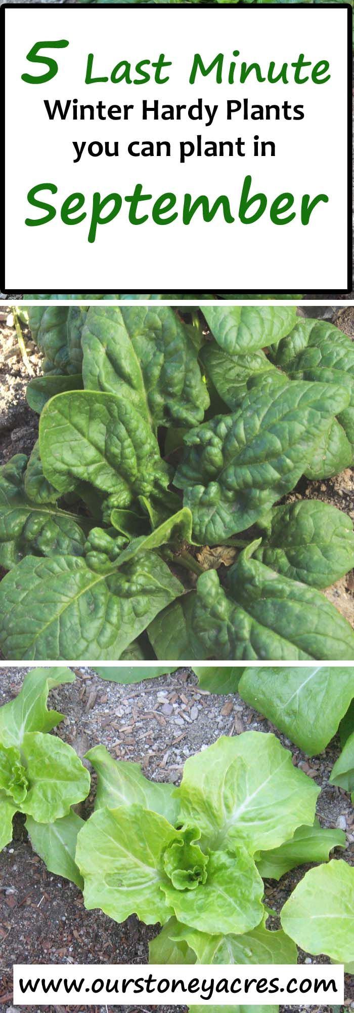 5 Last Minute Crops to plant in September.  What can you plant in September?? Here are 5 crops you can still plant in September.  This post is meant mainly for those of us living in Zones 4 to 7, in the northern hemisphere.