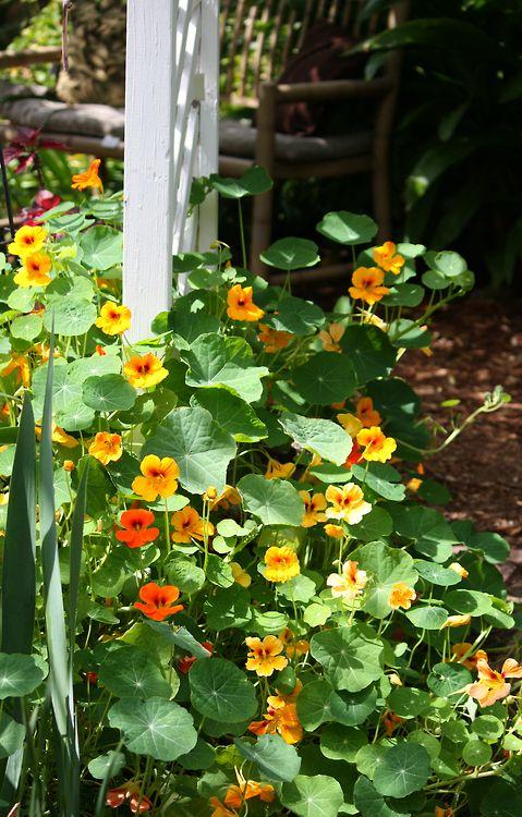 Les 45 meilleures images du tableau capucines fleurs for Jardin ornement fleurs