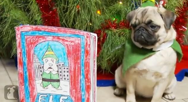 If You Don't Love Watching Elf Recreated By Pugs, You're A Cotton-Headed Ninny Muggins