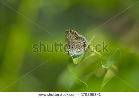 Grey Hairstreak butterfly on a leaf - stock photo