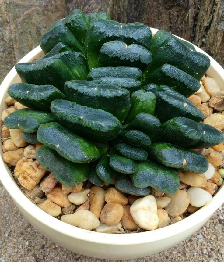 HAWORTHIA TRUNCATA HYBRID DISTICHOUS FAN FORM.