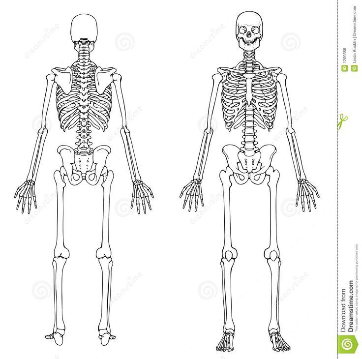 Esqueleto Humano - Frente Y Parte Posterior Imagen de archivo libre de regalías - Imagen: 1209366