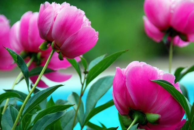 pianese flower -