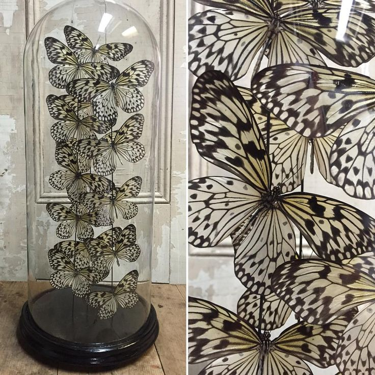 Members of the Rice Paper Butterfies from the Philippines preserved in a 19th century glass dome.  Idea Leucone obscura  #ricepaperbutterfly #taxidermy #unique #entemology #insects #butterflydome #glassdome #victorian #antique #interiors #decor #instadecor #instawow #nature #custommade  Come take a look at #contextdesignca #toronto