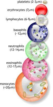 blobs.org - White Blood Cells