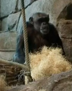 The chimp who learned to trick humans... and pelt them with stones  Meet Santino, a supersmart, rock-slinging ape who devises elaborate plans to annoy spectators at Sweden's Furuvik Zoo