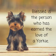 Blessed is the person who has earned the love of a Yorkie