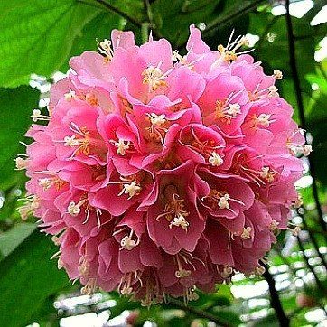 86 best flowering trees images on pinterest blossom trees flower pink dombeya is a shrubby tree that blooms fat clusters of soft pink bells each with snow white stamens and a deep pink starburst at the center mightylinksfo