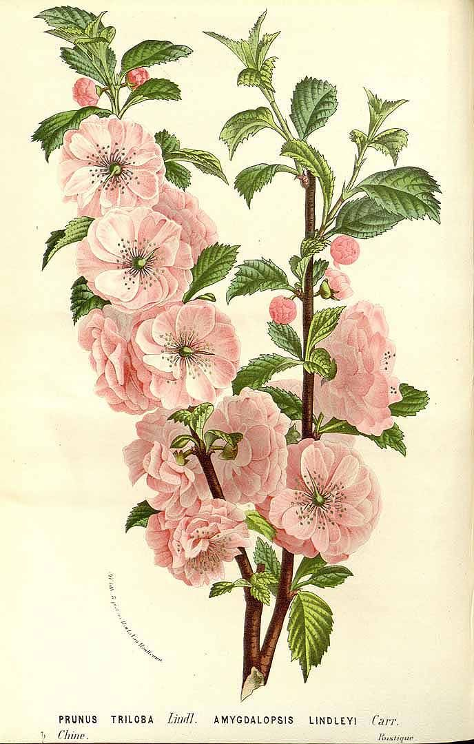 Houtte, L. van, Flore des serres et des jardin de l'Europe [L. van Houtte], vol. 15: t. 0 (1845)