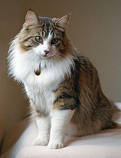 Az önfejű Norvég erdei macska