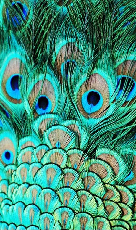 Colour in Nature is Beautiful - Peacock Feathers
