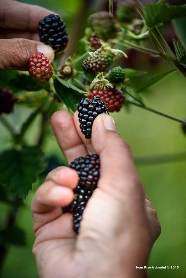 E' tempo di piccoli frutti come le more di Valtellina ph #Previsdomini