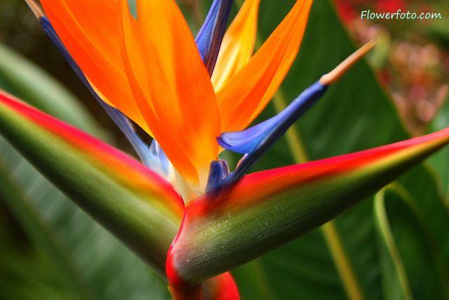 iris and bird of paradise | free clip art image bird of paradise flower , Bird of Paradise Flowers