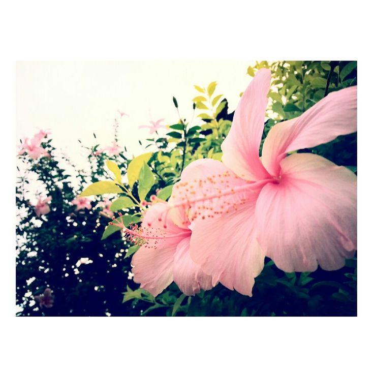 #highbiscus #samoa #aute #flower #flowers #cute #bloom #blossom #beautiful #tropical #pretty #apia