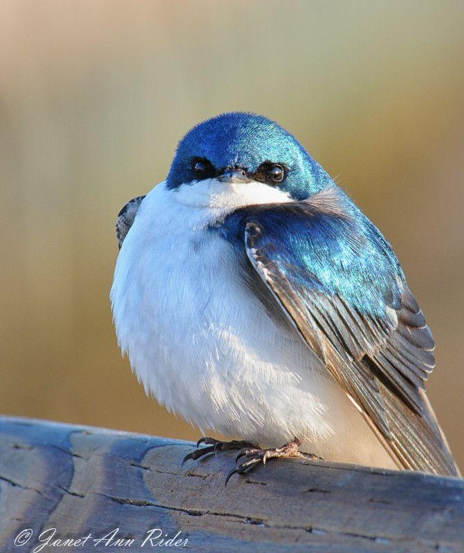 Tree Swallow #birds