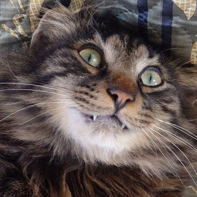 Получила право на пару снимков☺ #кот #мойкот #курильскийбобтейл #cat #pet #kurilianbobtail #mypet #mrr
