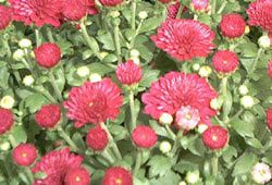 Chrysanthemums and Hardy Mums - Plants With Colorful Fall Flowers-Toxic to dogs