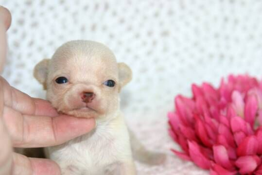 TEACUP Chihuahua Puppies For Sale - APPLEHEAD Chihuahuas Puppy Breeders